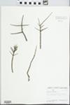 Forestiera pubescens Nutt.