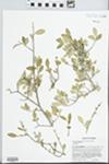 Forestiera segregata (Jacq.) Krug & Urb. by J. Richard Abbott