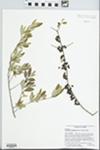 Forestiera segregata (Jacq.) Krug & Urb. by J. Richard Abbott, Kurt Neubig, and Julie Neubig