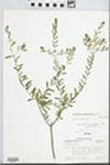 Forestiera angustifolia Torr. by Jeanne Bowen