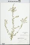 Forestiera angustifolia Torr.