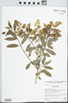 Ligustrum vulgare L. by Charlene Kubic, Bud Ewert, and Chris Courtney