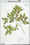 Ligustrum vulgare L. by Patrick Hanlon