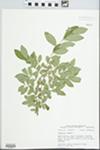 Ligustrum vulgare L. by John E. E. Ebinger