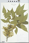 Fraxinus pennsylvanica Marsh. by Loy R. Phillippe, Richard L. Larimore, and Bob Edgin