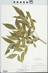 Fraxinus pennsylvanica Marsh. by Robert A. Evers