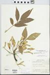 Fraxinus pennsylvanica Marsh. by William M. Bailey and Julius R. Swayne