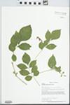 Fraxinus pennsylvanica Marsh. by Marilyn Morris, Scott Simon, and Loy R. Phillippe