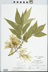 Fraxinus pennsylvanica Marsh. by John Gerard