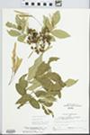 Fraxinus pennsylvanica Marsh. by Larry Dennis