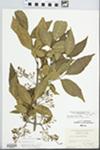 Fraxinus pennsylvanica Marsh. by George Neville Jones