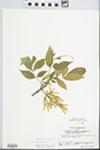 Fraxinus pennsylvanica Marsh. by Kathleen Andrews