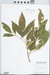 Fraxinus lanceolata Borkh. by John E. E. Ebinger