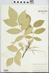 Fraxinus lanceolata Borkh. by Virginius H. Chase