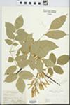 Fraxinus L. by Shephard and John E. Ebinger