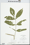 Fraxinus pennsylvanica Marsh. by Bob Holeman