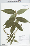 Fraxinus nigra Pott by Loy R. Phillippe, Richard L. Larimore, and Paul B. Marcum