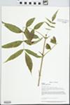 Fraxinus nigra Pott by Loy R. Phillippe, John E. Ebinger, and William McClain