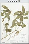 Fraxinus nigra Pott by Randy W. Nyboer