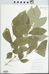 Fraxinus pennsylvanica Marsh. by Robert Edgin