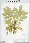Fraxinus pennsylvanica Marsh. by Virginius H. Chase