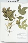 Fraxinus lanceolata Borkh. by Holly J. Wallace