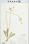 Dodecatheon meadia L. by Phipps and Speer
