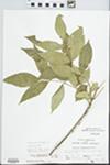 Fraxinus pennsylvanica Marsh. by John Gerard