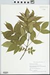 Fraxinus pennsylvanica Marsh. by Jason Haas