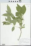 Fraxinus pennsylvanica Marsh.