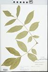 Fraxinus americana L. by Margaret Ellington