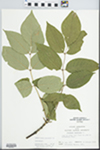 Fraxinus americana L.