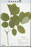 Fraxinus americana L. by Hampton M. Parker