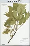 Fraxinus americana L. by Steven Clemants and Steve Glenn