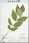 Fraxinus americana var. americana L. by John E. E. Ebinger