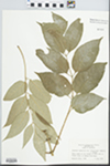 Fraxinus americana var. biltmoreana (Beadle) J. Wright ex Fernald