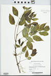 Fraxinus americana L. by Kerry Barringer