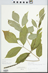 Fraxinus americana L. by Loy R. Phillippe