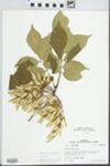 Fraxinus americana L. by R. Dale Thomas