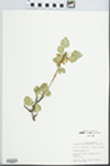 Fraxinus anomala Torr. ex S. Wats. by John E. E. Ebinger