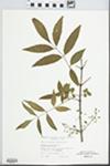 Fraxinus caroliniana Mill.