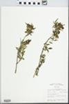 Fraxinus cuspidata Torr. by John E. E. Ebinger
