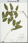 Fraxinus nigra Pott by John E. E. Ebinger