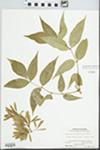 Fraxinus pennsylvanica Marsh. by Rudy G. Koch