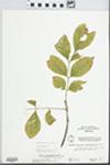 Fraxinus pennsylvanica Marsh. by McClain
