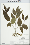Fraxinus pennsylvanica Marsh. by W. McClain