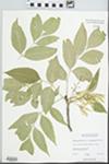 Fraxinus pennsylvanica var. subintegerrima (Vahl) Fernald