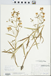 Lysimachia quadriflora Sims by Phipps and Speer