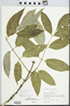 Fraxinus pennsylvanica Marsh. by Loy R. Phillippe