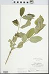 Fraxinus pennsylvanica Marsh. by John E. E. Ebinger